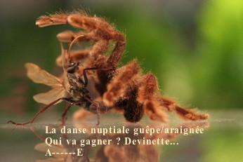 Araignee_guepe