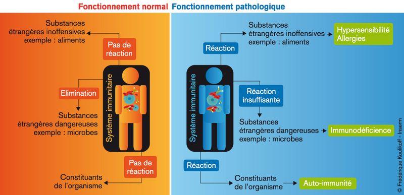 Schema-système imunitaire-maladie-autoimmune